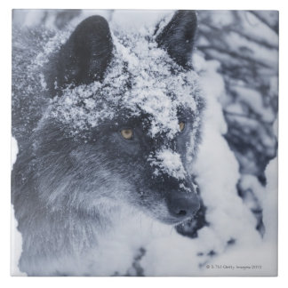 Lone wolf in snow tile