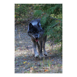 Lone Wolf Walking on Path Wildlife Photo Art Print
