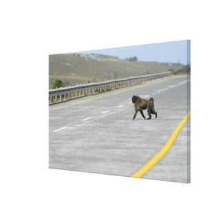 Lonely Chacma baboon crossing highway road Canvas Print