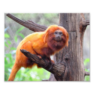 Lonely Red Leaf Monkey Photographic Print