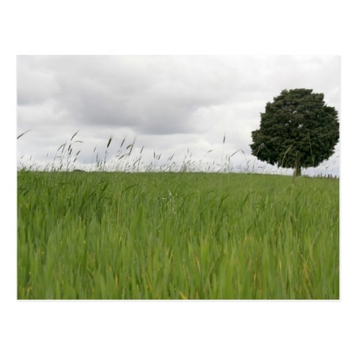 Lonely tree in a field postcard