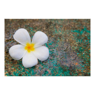 Lonely White Frangipani Flower Poster
