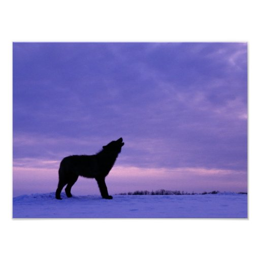 Lonely Wolf Posters