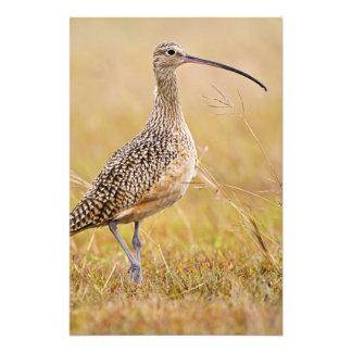 Long-billed Curlew Numenius americanus) adult Photo Print