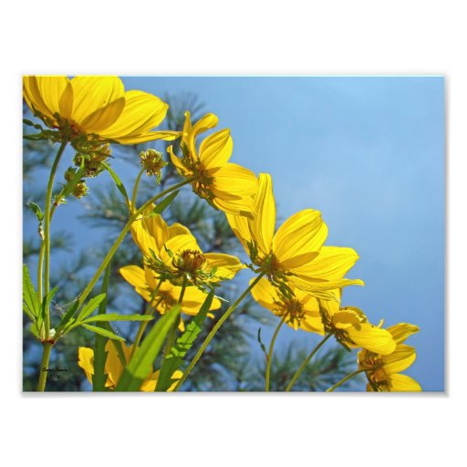 Long Bracted Tickseed Sunflower Wildflower Art Photo