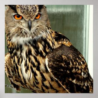 Long Eared Owl Poster