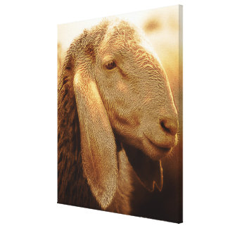 Long Eared Sheep Dolomites, Italy Canvas Print