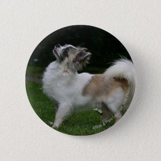 Long Haired Chihuahua Looking at Camera 6 Cm Round Badge