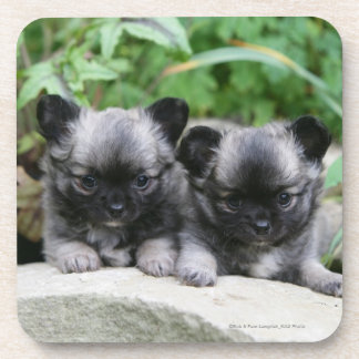 Long Haired Chihuahua Puppies Drink Coaster