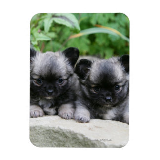 Long Haired Chihuahua Puppies Rectangular Photo Magnet