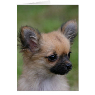 Long Haired Chihuahua Puppy Looking at Camera Card