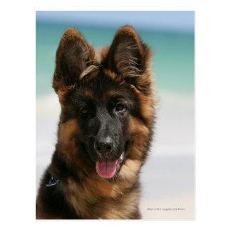 Long Haired German Shepherd Beach Postcard