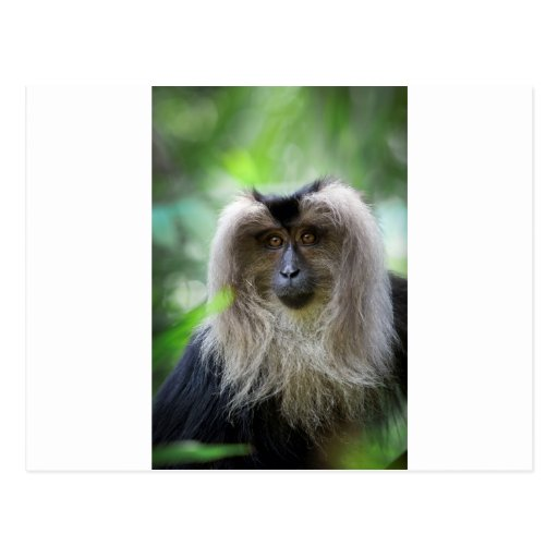 Long haired macaque monkey postcards