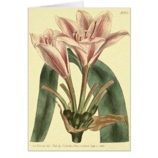 Long Leaved Amaryllis Illustration Card