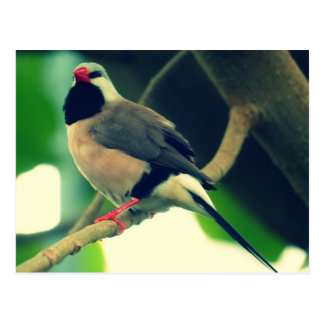 Long-tailed Finch Postcard
