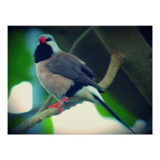 Long-tailed Finch Poster