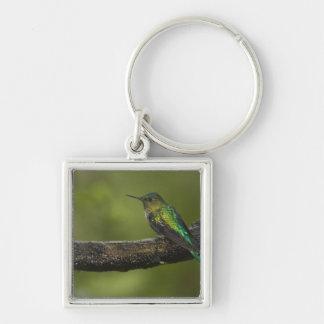 Long-tailed Sylph Aglaiocercus kingi) male, Key Ring