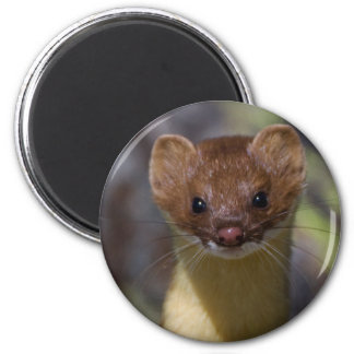 Long-tailed Weasel 6 Cm Round Magnet