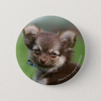 Longhaired Chihuahua Puppy Looking at Camera 6 Cm Round Badge