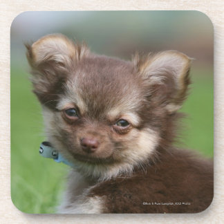 Longhaired Chihuahua Puppy Looking at Camera Coaster