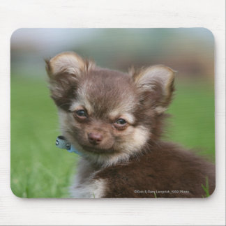 Longhaired Chihuahua Puppy Looking at Camera Mouse Pad