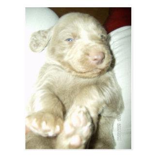 Longhaired Pup Weimaraner Postcard