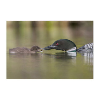 Loon Adult Feeds Chick Acrylic Print