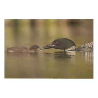 Loon Adult Feeds Chick Wood Wall Art