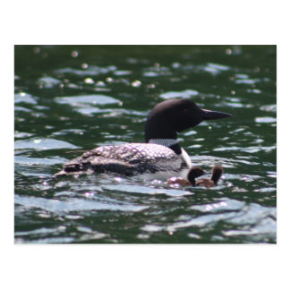Loon and Two Babies Postcard