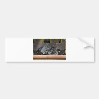 Lop eared rabbit bumper sticker