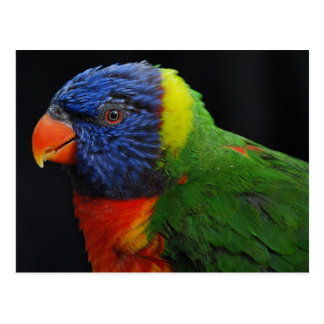 Lorikeet close-up postcard