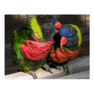 Lorikeets Playing Post Cards