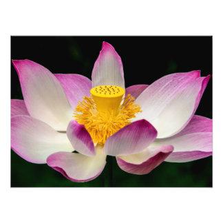 lotus_7830 jpg photo