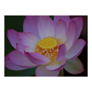 Mothers Day Lotus Flower Gifts Gift Ideas Zazzle Uk