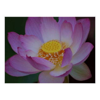 Lotus flower and its meaning poster