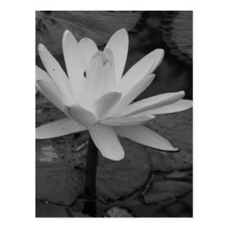 Lotus Flower B/W Postcard