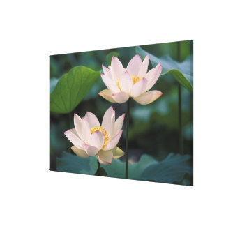 Lotus flower in blossom, China Canvas Print