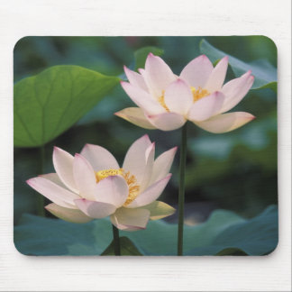 Lotus flower in blossom, China Mouse Mat