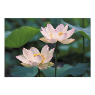 Lotus flower in blossom, China Photo Print