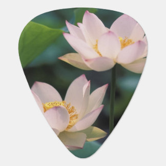 Lotus flower in blossom, China Plectrum