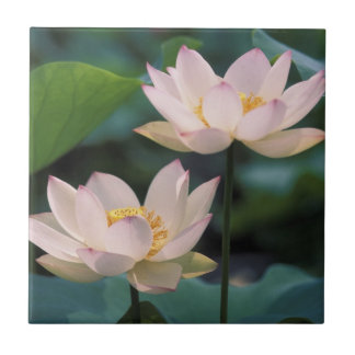 Lotus flower in blossom, China Tile