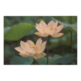 Lotus flower in blossom, China Wood Wall Art