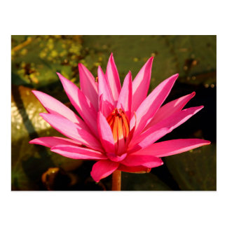 Lotus Flower in the Nature Postcard