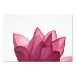 Lotus flower [Nelumbio speciosum] in full Photo Print