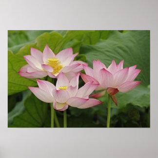 Lotus flower Nelumbo nucifera China 2 Print