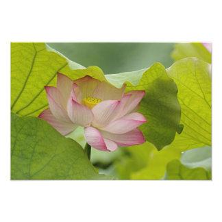 Lotus flower, Nelumbo nucifera, China Photo Print