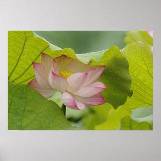 Lotus flower Nelumbo nucifera China Print