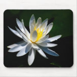 Lotus flower or waterlily and meaning