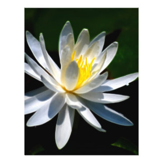 Lotus flower or waterlily and meaning flyer design