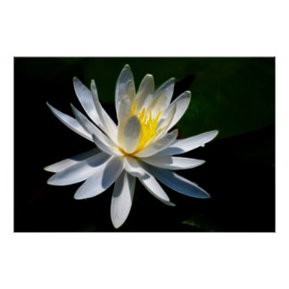 Lotus flower or waterlily and meaning poster